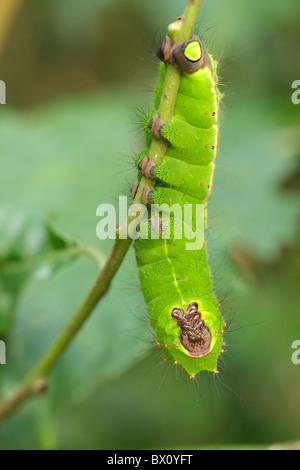 indian moon moth caterpillar, actias selene, hanging on branch - Stockfoto