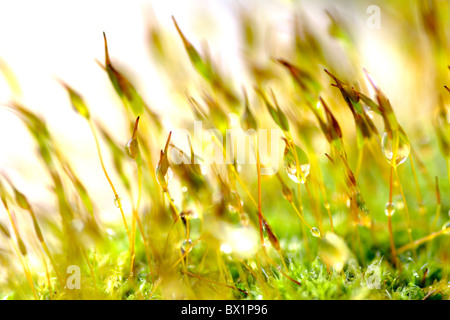 Wall screw moss (Tortula muralis) spores close up - Stockfoto