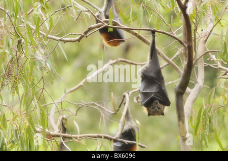 Grey-headed flying fox (Pteropus poliocephalus), Yarra Bend Park, Melbourne,Victoria, Australia, Pacific - Stock Photo