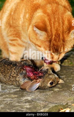 cheshire cat british shorthair