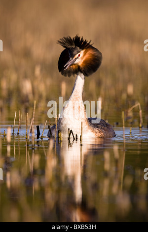 Great crested grebe in pond - Stock Photo