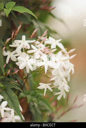 The delicate white flowers of jasminum Polyanthum - pink Jasmine - Stock Photo