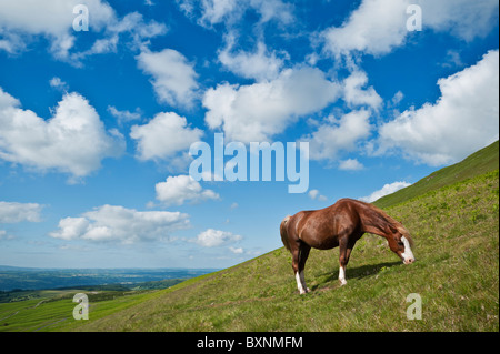Welsh mountain pony feeds on hillside at Hay Bluff, Brecon Beacons national park, Wales - Stock Photo