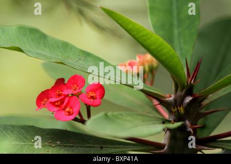 closeup of euphorbia milii flowers photo - Stock Photo
