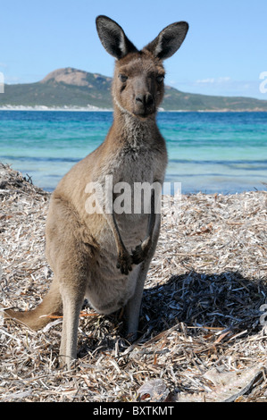 Kangaroos On The Beach At Lucky Bay In Cape Le Grand National Park At Esperance Wa Australia - Stock Photo