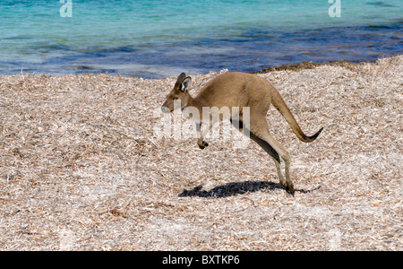 Kangaroo On The Beach At Lucky Bay In Cape Le Grand National Park At Esperance Wa Australia - Stock Photo