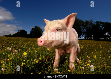 Cute Piglet in a field full of daisy's with a bright blue sky - Stock Photo