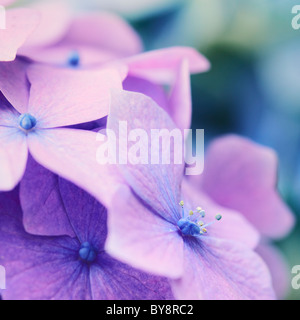 Close up of the flower head of Hydrangea macrophylla 'Hortensis' in late summer - Stock Photo