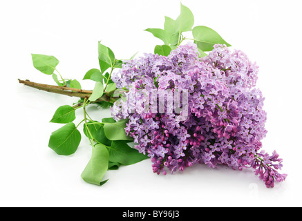 Bunch of Lilac Blossom Isolated on White - Stock Photo