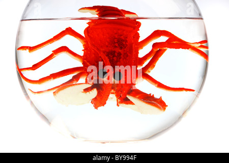 Red lobster in a Goldfish bowl. - Stock Photo