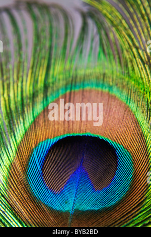 Peacock feathers / feather close up detail. - Stock Photo