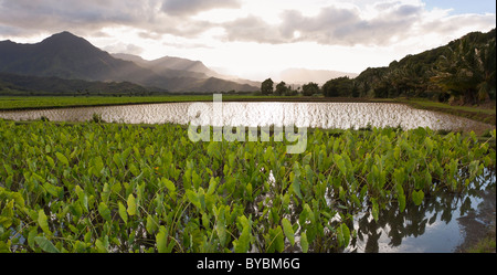 Flooded Taro Fields near Hanalei. Flooded fields of taro and young sprouts in the Hanalei river valley just outside - Stockfoto