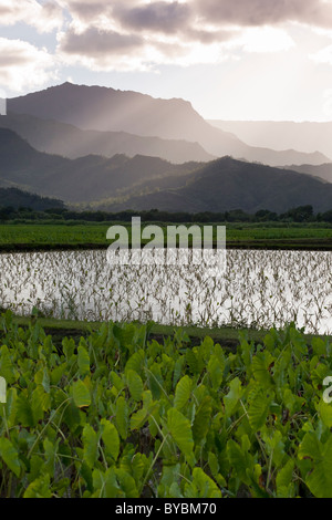 Flooded Taro Fields and mountains. Flooded fields of taro in the Hanalei river valley just outside of Hanalei - Stockfoto