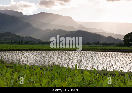 Young paddy field of taro shoots below the mountains.. Flooded fields of taro in the Hanalei river valley outside - Stockfoto
