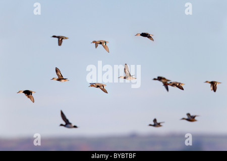 Teal; Anas crecca; flock in flight - Stock Photo