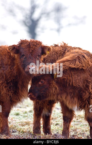 Two young calves in the winter cold - Stock Photo