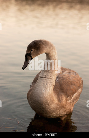 Swan floating on water - Stock Photo