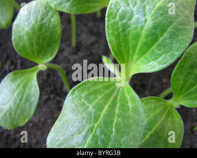 Close-up of pumpkin sprouts in the ground - Stockfoto