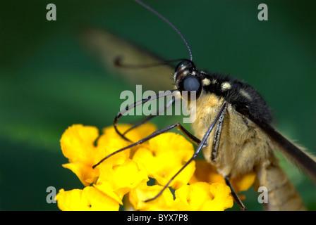 Lime Swallowtail Butterfly feeding Papilio demoleus Asia - Stock Photo