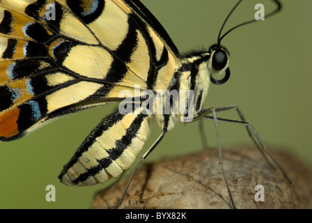 Lime Swallowtail Butterfly Papilio demoleus Asia - Stock Photo