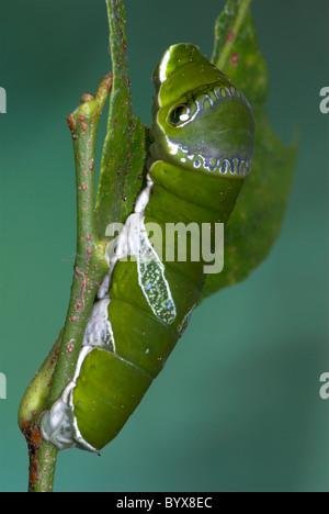 Lime Swallowtail Butterfly Caterpillar Papilio demoleus Asia - Stock Photo