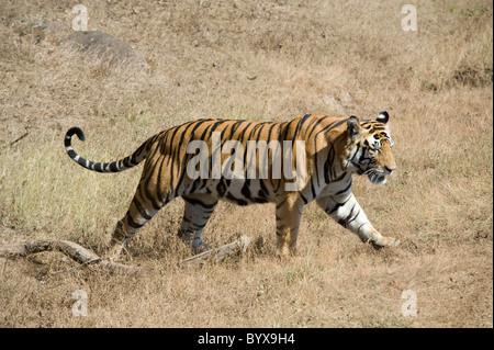 Bengal Tiger Panthera tigris tigris India - Stock Photo