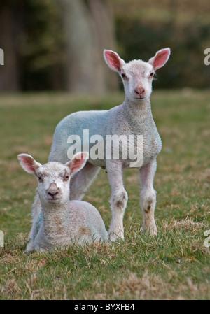 Twin lambs Devon UK - Stock Photo