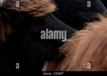 Sand Meadow Farms Icelandic Horses - Stock Photo