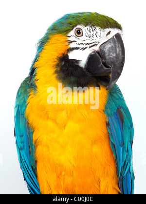 A blue and yellow mackaw, a brightly coloured bird. - Stock Photo