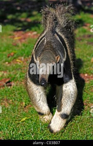 Giant Anteater (Myrmecophaga tridactyla), adult walking, Pantanal, Brazil, South America - Stock Photo