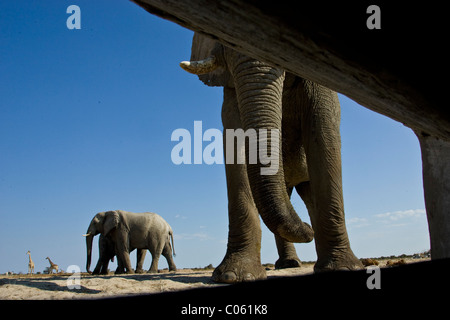 Elephants photographed from inside hide, Etosha National Park, Namibia. - Stock Photo