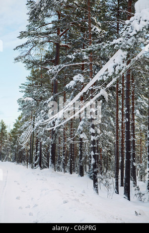Snow covered power lines next to pine forest - Stock Photo