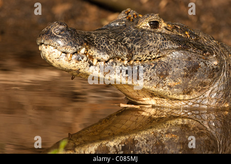 Spectacled Caiman in the river of the Pantanal, Brazil - Stock Photo