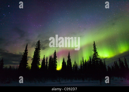 View of Northern Lights above spruce trees in Broad Pass, Southcentral Alaska, Winter - Stock Photo
