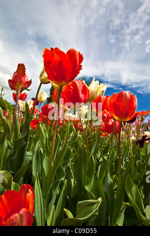 Close up of red tulip tulips blooming in a garden. Charles Lupica - Stock Photo