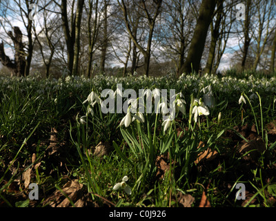 Cheam Surrey England Mansion House Nonsuch Park A Field Of Snowdrops - Stock Photo