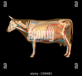 cow internal organs anatomy of the cow brain stock photo royalty free image 4959