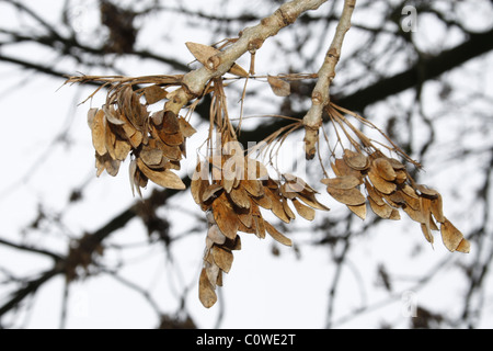 to make a model sycamore seed essay Sycamore tree facts sycamore tree is deciduous tree that belongs to the plane-tree family sycamore seed are known as helicopters because of their wings that rotate similar to helicopter's propeller on a wind.