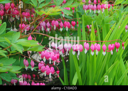 rows of floral bleeding hearts in garden - Stock Photo