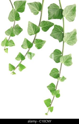 Ivy isolated on white - Stock Photo