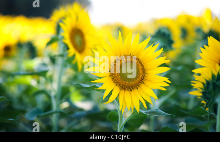 Cultivation of sunflowers in the Indian countryside, Andhra Pradesh, India - Stock Photo