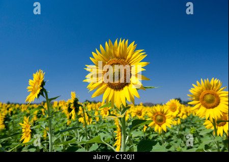 Cultivation of sunflowers in the Indian countryside, Andhra Pradesh, India - Stockfoto