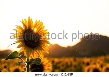 Anbau von Sonnenblumen in der indischen Landschaft, Andhra Pradesh, Indien - Stockfoto