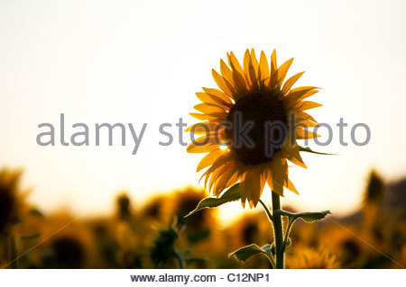 Cultivation of sunflowers in the Indian countryside at sunset, Andhra Pradesh, India - Stock Photo