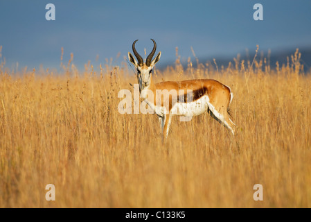 Springbok (Antidorcas marsupialis) looks out over plains, Mountain Zebra National Park, Eastern Cape Province, South - Stock Photo
