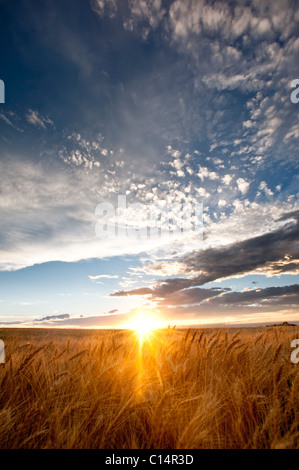 Sun shining over a wheat field with blue sky and clouds. La Junta, Colorado, United States. - Stock Photo