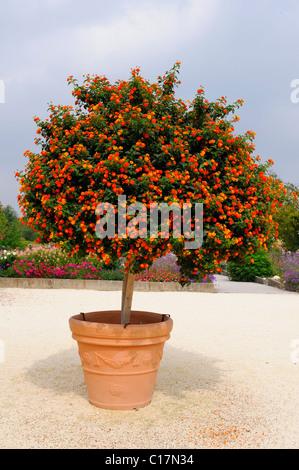 how to keep lantana blooming