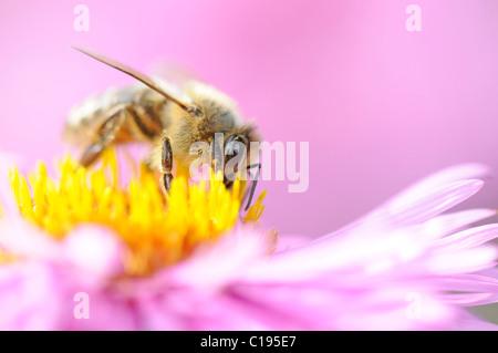 Apis mellifera the life of the western honey bee essay
