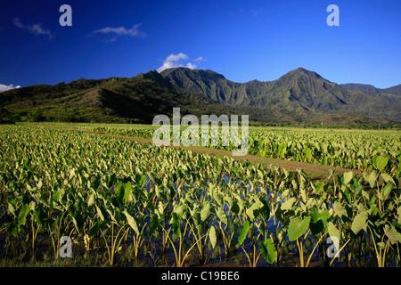 Taro fields in the Hanalei valley on the north coast of Kaua'i Island, Hawai'i, USA - Stock Photo