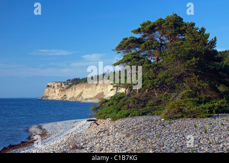 Pine tree on shingle beach and limestone cliff Högklint / Hoegklint near Visby, island of Gotland, Sweden - Stock Photo